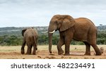 Small photo of African Bush Elephant - The African bush elephant is the larger of the two species of African elephant.