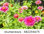 Blooming Pink Zinnias In The...