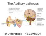 the auditory system is the... | Shutterstock .eps vector #482295304
