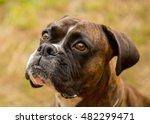 Expressive Boxer Dog Face