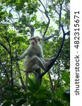 Small photo of flock of Indian macaques in dry season. Young males remain aloof from family groups
