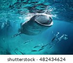 Whale Shark Eating At The...