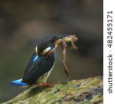 Small photo of Blue-banded Kingfisher, alcedo euryzona, carrying shrimp in mouth to feed its chicks, standing on the log beside the flowing stream as blur background, bird, best shot of Blue-banded Kingfisher