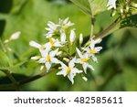 aubergine  solanum torvum  ... | Shutterstock . vector #482585611