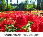 Stock photo roses garden 482648209