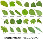 Collection Of Green Leaves Of...