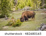Bison grazing, eating grass in Yellowstone National Park with forest in background