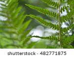 Latin Name Is  Dryopteris Fili...