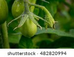 green roma tomatoes ripening on ... | Shutterstock . vector #482820994