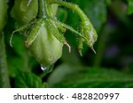 green roma tomatoes ripening on ... | Shutterstock . vector #482820997