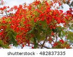 Flamboyant  The Flame Tree ...