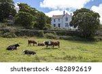 Cows At St David's ...