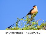 Pin Tailed Whydah Sitting On A...