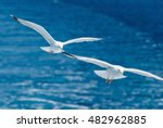 Pair Of Seaguls. Shallow Depth...