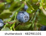 Blueberries Closeup With Water...