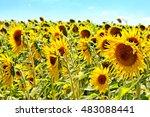 colored sunflower field in... | Shutterstock . vector #483088441