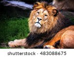Barbery Lion  Portrait Of The...