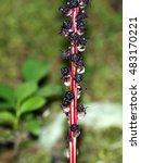 Small photo of Candystick Plant - Allotropa virgata