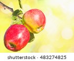 Two Red Ripe Apples On A Branc...