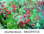 Viburnum Bush With Lot Ripe Re...