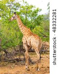 giraffe  giraffa camelopardalis ... | Shutterstock . vector #48332281