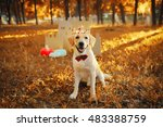 Beautiful Labrador Dog In The...