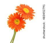 Red Gerberas  African Daisy ...