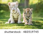 white and red tiger cubs... | Shutterstock . vector #483519745