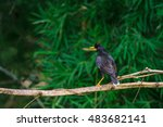 Small photo of white vented myna on nature background (Acridotheres grandis)