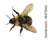 Macro Top View Of Bumblebee On ...