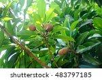 manilkara zapota or sapodilla... | Shutterstock . vector #483797185