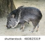 profile of the chacoan peccary... | Shutterstock . vector #483825319