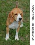 adorable beagle puppy dog... | Shutterstock . vector #483829207