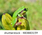 Small photo of A close up of the hyla (tree toad) (Hyla Japonica).
