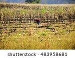 sugarcane harvest in thailand | Shutterstock . vector #483958681