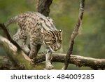 fishing cat  prionailurus... | Shutterstock . vector #484009285