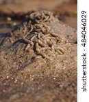 Small photo of The lugworm or sandworm (Arenicola marina) at low tide at coast 4