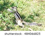 Indian Chipmunk Stands On Its...