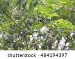 The Custard Apple On The Tree...