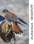 Small photo of American Kestrel standing on the leather glove of his trainer at an Andean bird sanctuary near Otavalo, Ecuador 2015