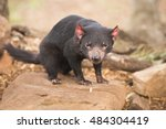 Tasmanian Devil In Hobart ...