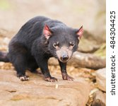 Small photo of Tasmanian Devil in Hobart, Tasmania during the day.