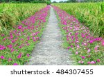 Portulaca Flower Road In The...