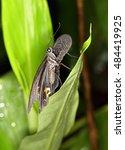 Small photo of papilio protenor cramer