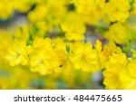 ochna integerrima flower  the... | Shutterstock . vector #484475665