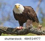 Bald Eagle On Branch Eating Fish