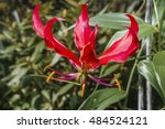flame lily  gloriosa superba ... | Shutterstock . vector #484524121