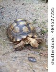 Small photo of African Spurred Tortoise Drink Water.