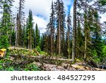 Small photo of Trees affected by the Pine Beetle in the Shuswap Highland forest of British Columbia, Canada