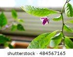 Purple And White Chilli Flower...
